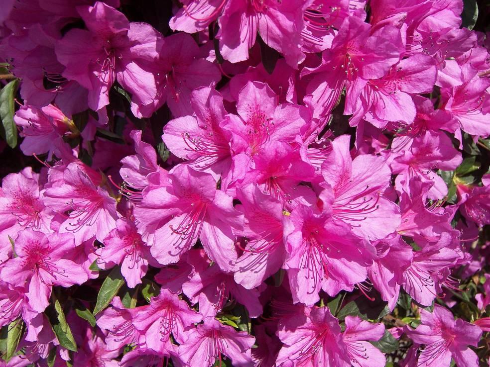 azalea-pink-wall